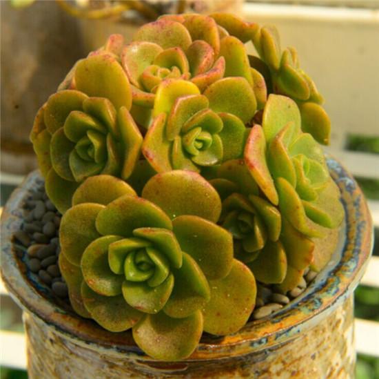 多肉植物—百合莉莉