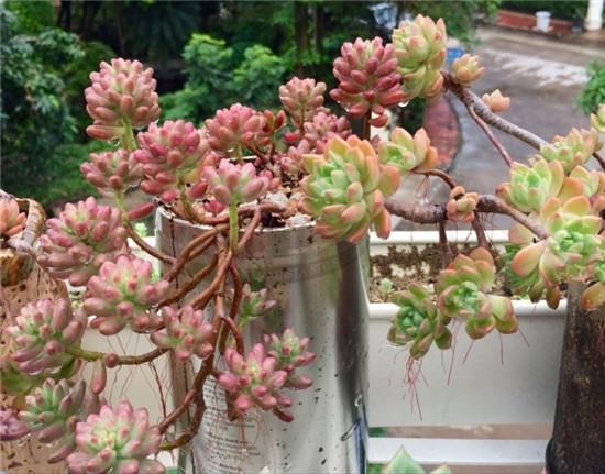 多肉植物—虹之玉锦