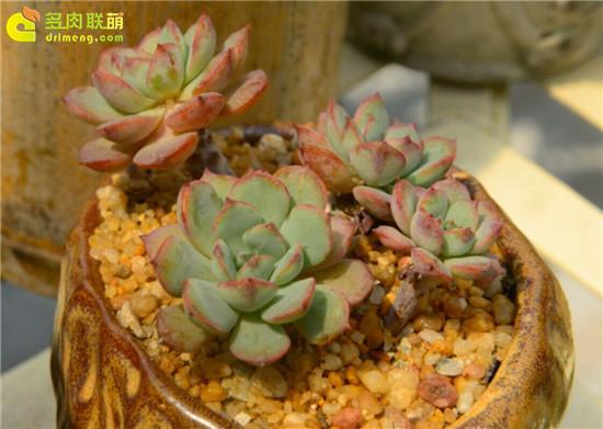 多肉植物—荣耀