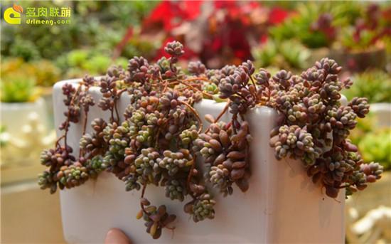 多肉植物—大姬星美人