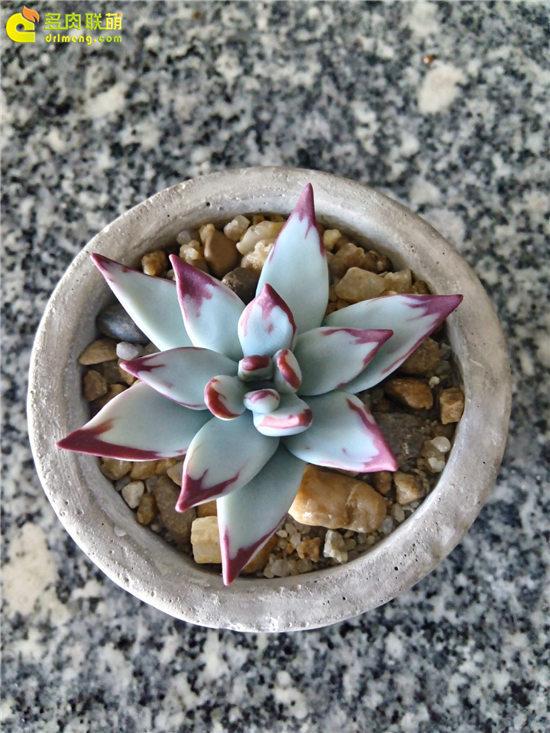 多肉植物软陶-10