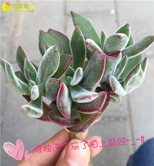 生日礼物送多肉植物-(14)