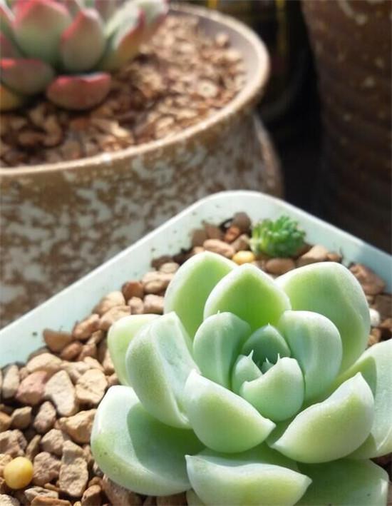 拟石莲花属多肉植物怎么养-13