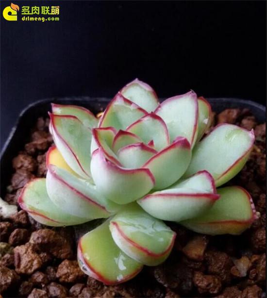 拟石莲花属多肉植物怎么养-5