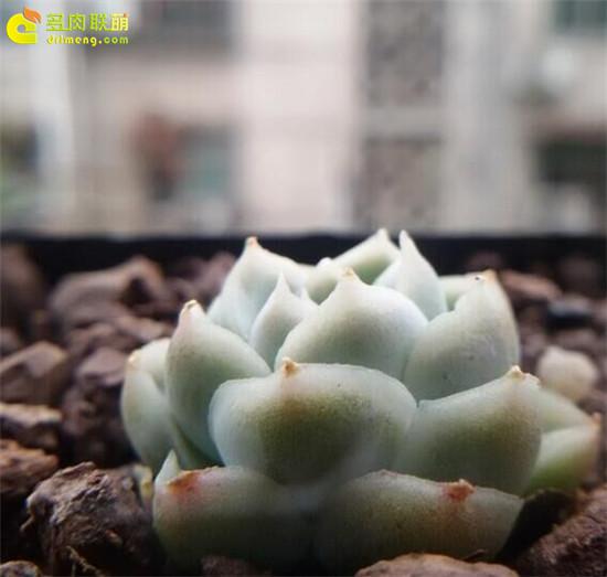 拟石莲花属多肉植物怎么养-9