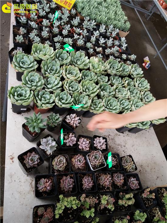 云南保山的多肉植物-1
