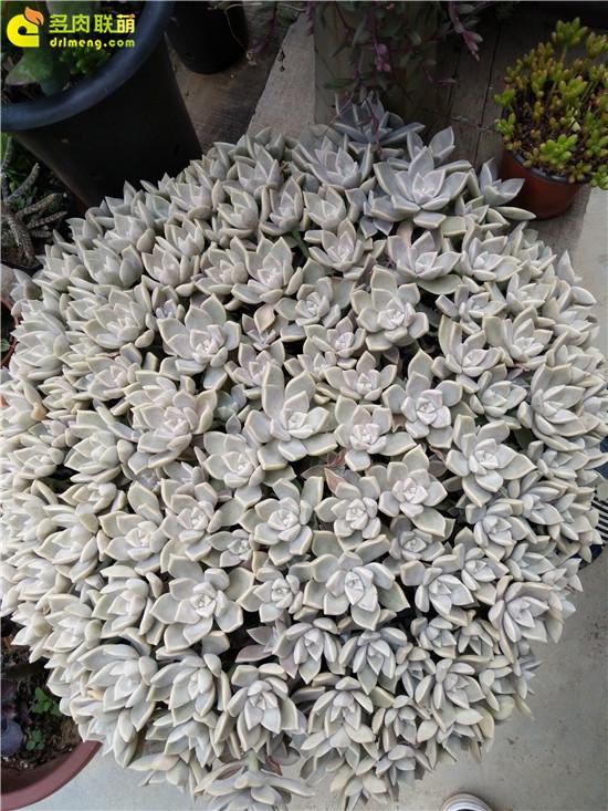 云南保山的多肉植物-10