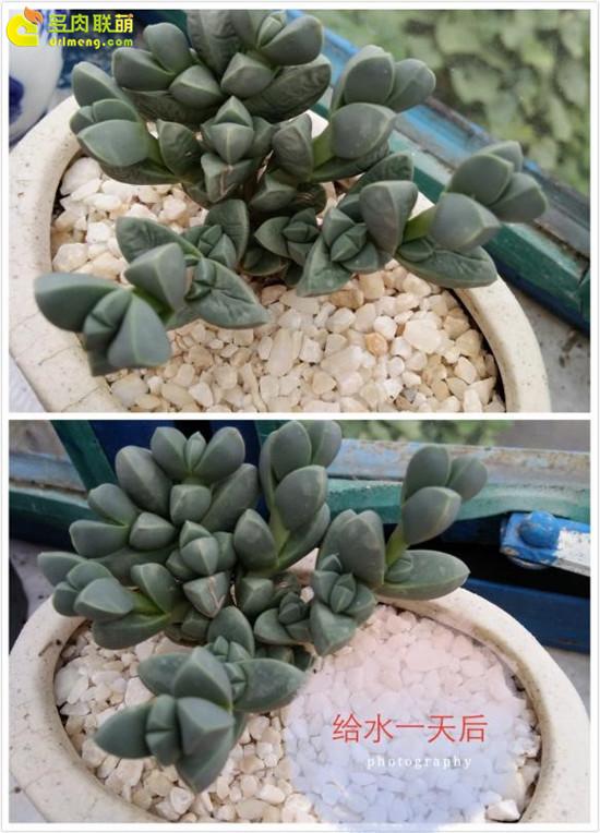 云南保山的多肉植物-15