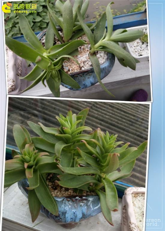 云南保山的多肉植物-19