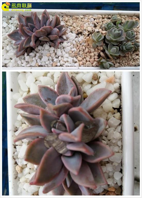 云南保山的多肉植物-21