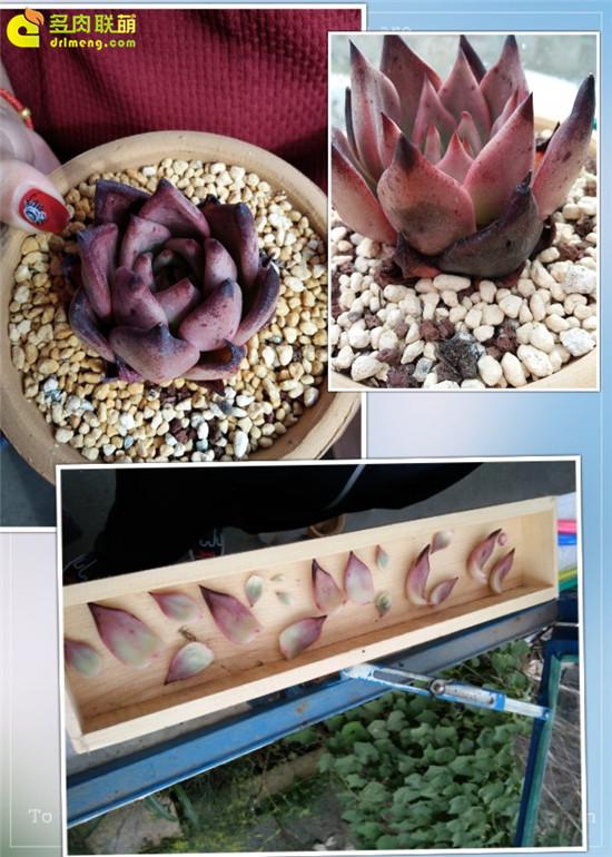 云南保山的多肉植物-23