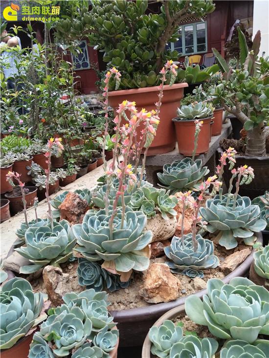 云南保山的多肉植物-8