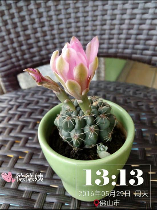 其他种植的仙人掌-11