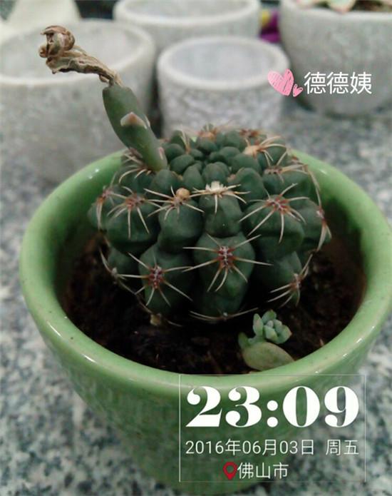其他种植的仙人掌-12