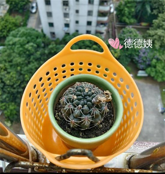 其他种植的仙人掌-13