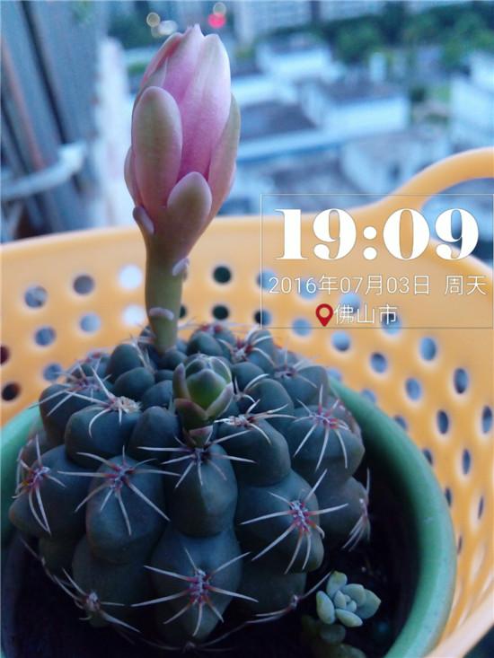 其他种植的仙人掌-15