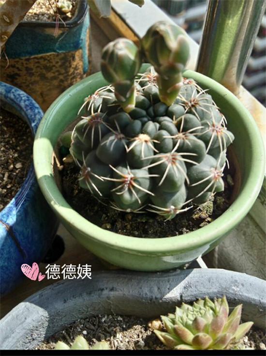 其他种植的仙人掌-3
