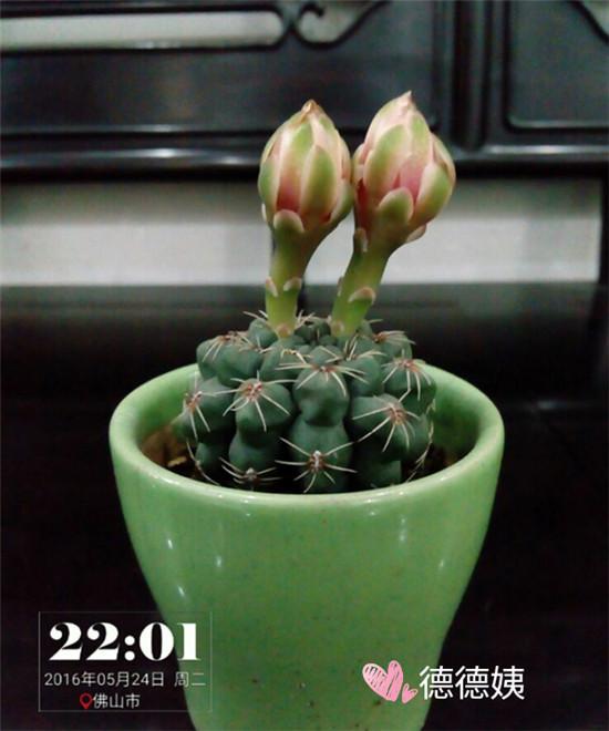 其他种植的仙人掌-4