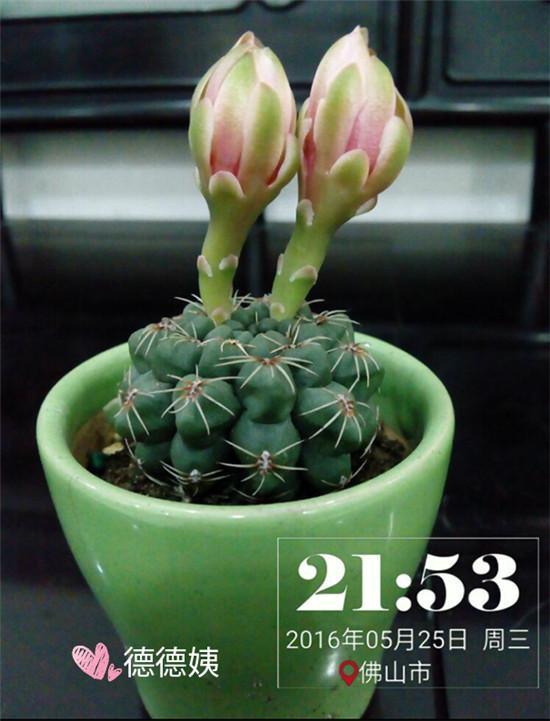 其他种植的仙人掌-5