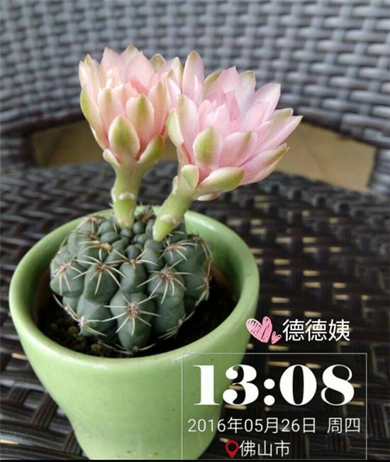 其他种植的仙人掌-6