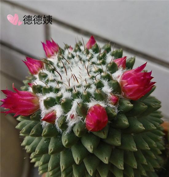 绯花玉的成长养护-5