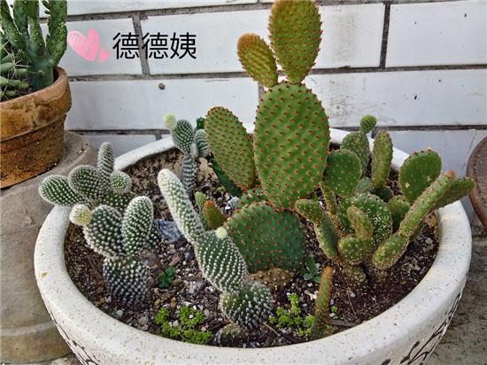 绯花玉的成长养护-6