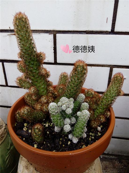 绯花玉的成长养护-8