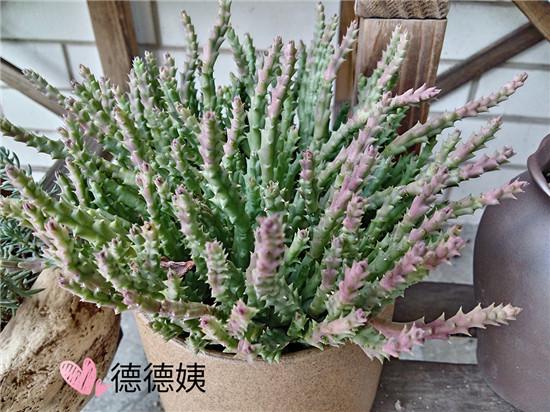 绯花玉的成长养护-9