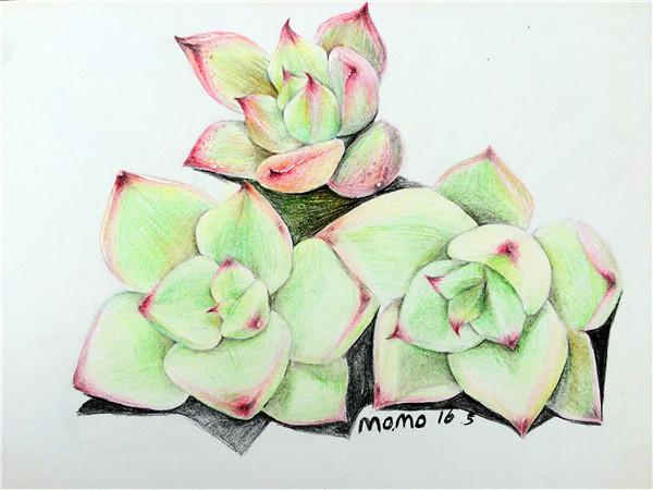 多肉植物彩铅画(4)