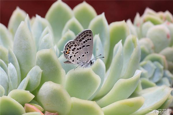 多肉植物玄灰蝶怎么防治-1