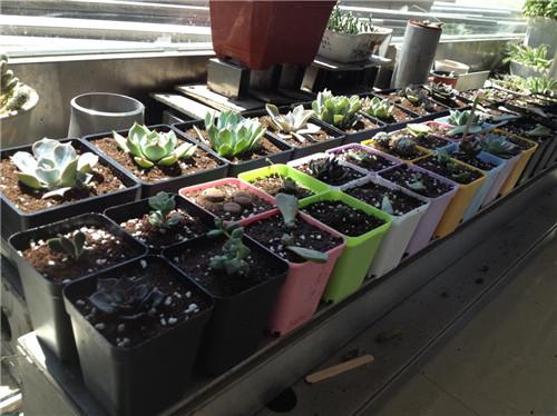 多肉植物叶插苗成长记录-2