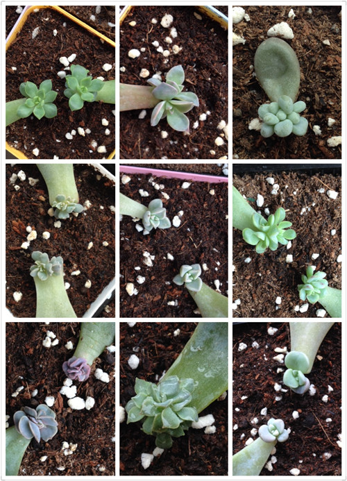 多肉植物叶插苗成长记录-3