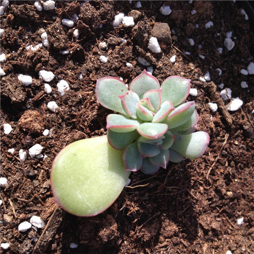 多肉植物叶插苗成长记录-4
