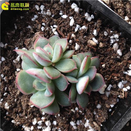 多肉植物叶插苗成长记录-8