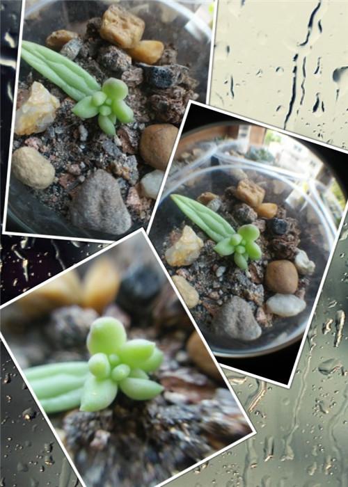 幼儿园里的多肉植物-15