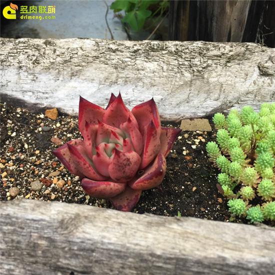 云南,夏天的多肉植物-2