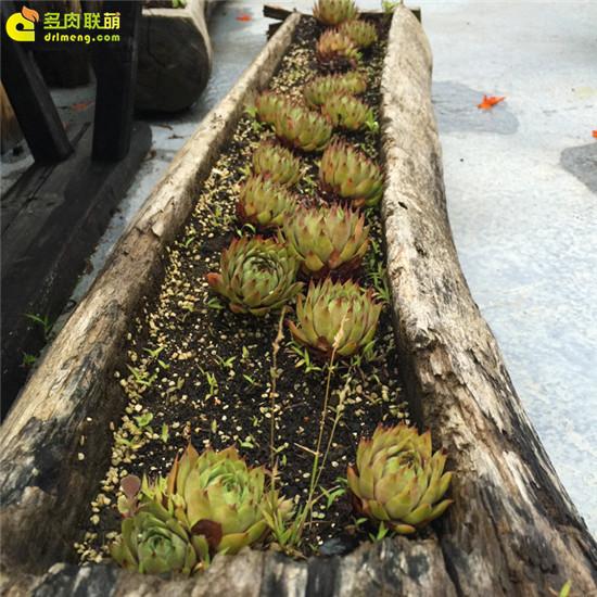 云南,夏天的多肉植物-3