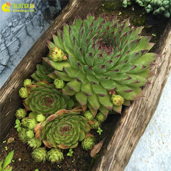 云南,夏天的多肉植物-4
