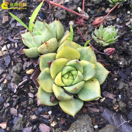云南,夏天的多肉植物-5