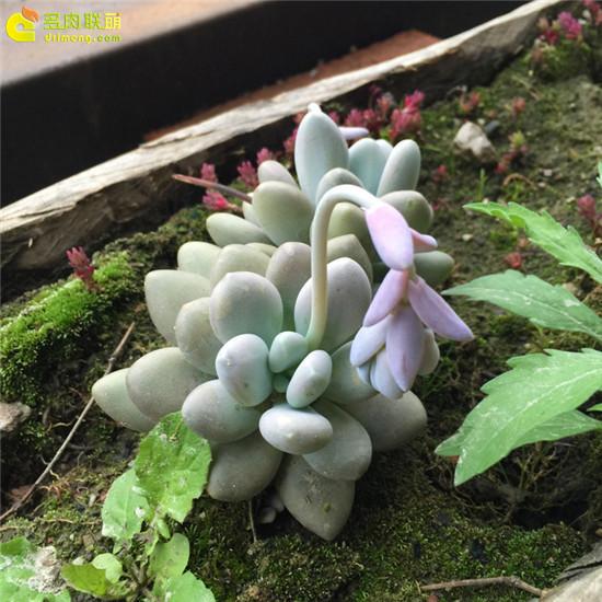 云南,夏天的多肉植物-6