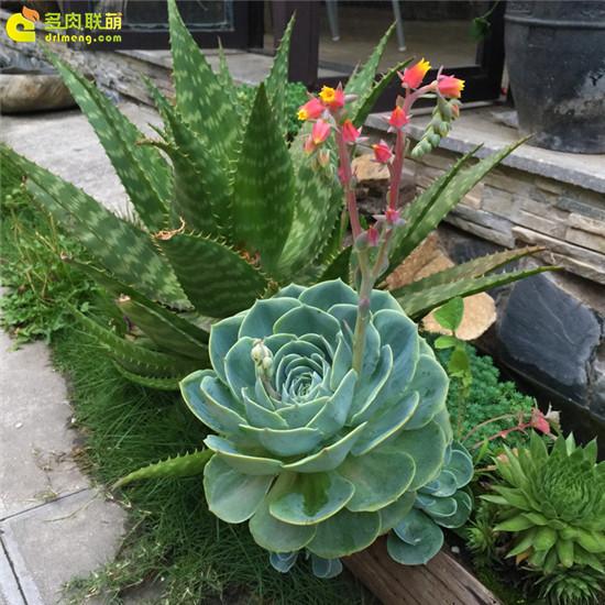 云南,夏天的多肉植物-9