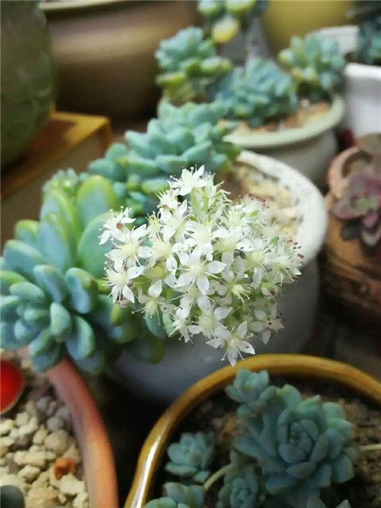 劳尔,一朵朵小白花簇拥着形成球状