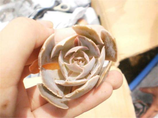 安娜泽维尔玫瑰(5)
