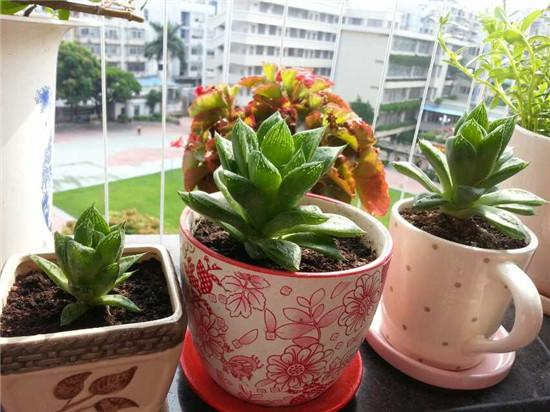 夏天的多肉植物,宝草-1