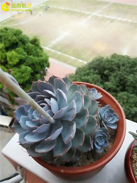 夏天的多肉植物,蓝石莲-8