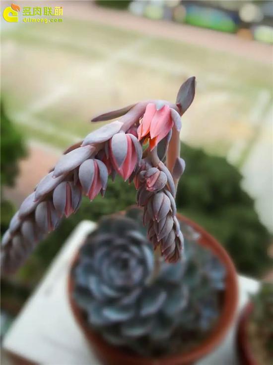 夏天的多肉植物,蓝石莲-9