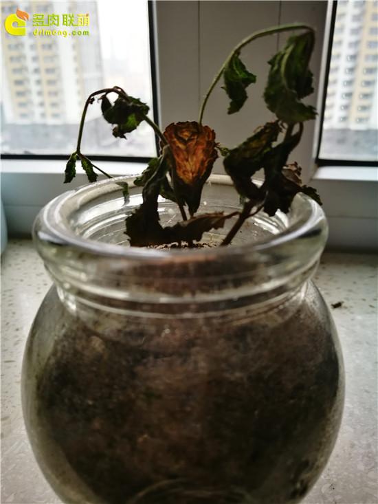 夏天死掉的多肉植物