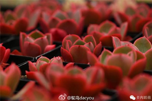 上色的莉莉娜 多肉植物