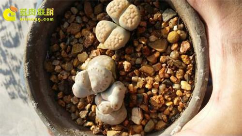 辽宁锦州楼顶养的一些仙人球、生石花-11