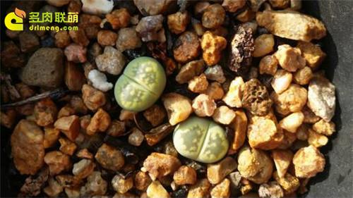 辽宁锦州楼顶养的一些仙人球、生石花-16